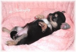 Tous nos bébés chihuahuas sont confortablement installés