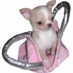 un petit chihuahua sac à main !