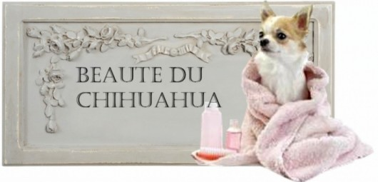 toilettage-du-chihuahua