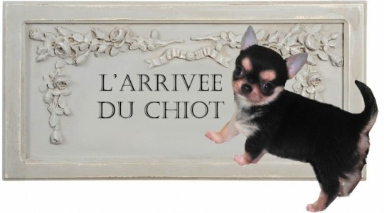 165357-arrivee-chiot-chihuahua-famille