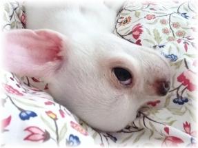 le chihuahua a un caractère adorable si il est issu d'un bon élevage