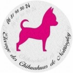 243145--levage-chiot-chihuahua-lof