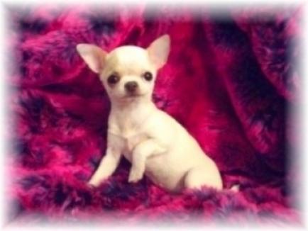 mini chihuahua de quatre mois, très bien typé