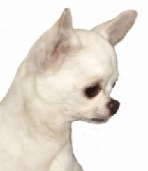 245506-elevage-chien-chihuahua