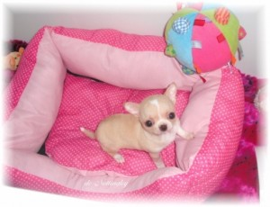 245620--leveur-chiot-chihuahua-lof