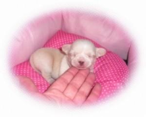 mini chihuahua avec une magnifique petite tête !