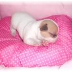 245849-chiot-chihuahua-miniature