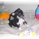 246032-chiots-chihuahua-a-vendre