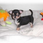 246033-chiots-chihuahua-miniature