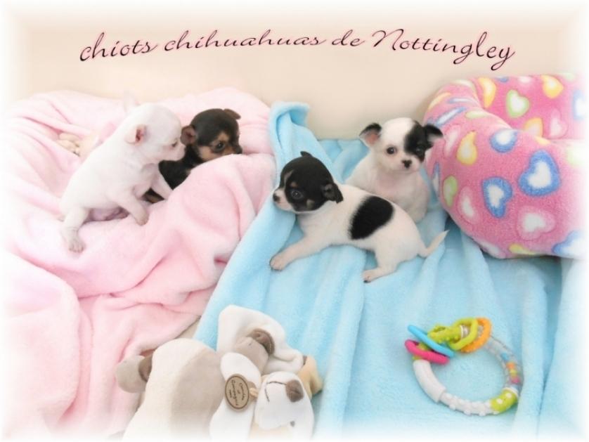chiots chihuahuas dans notre maternité