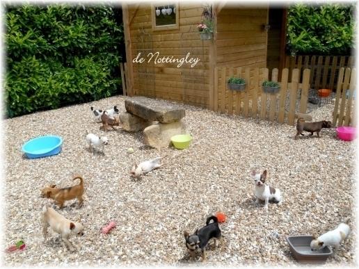 élevage familial chihuahua