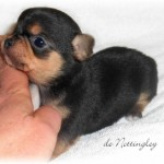 291919-chiot-chihuahua-tricolore