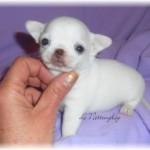 291938-chihuahua-blanc