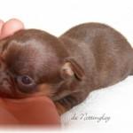 291939-chihuahua-chocolat