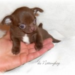 291941-chihuahua-m-le-chocolat
