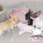 291953-chien-d-appartement-le-chihuahua