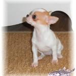 291954-chien-d-appartement-le-chihuahua