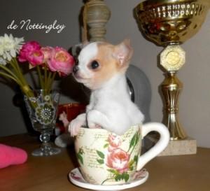 chihuahua tea cup sur mon bureau !