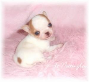 306361-chiots-chihuahua-miniature