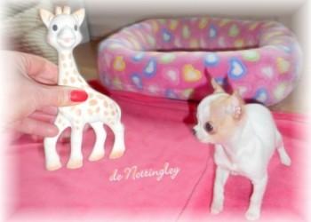 chiot mini chihuahua aussi grand que sa girafe sophie !