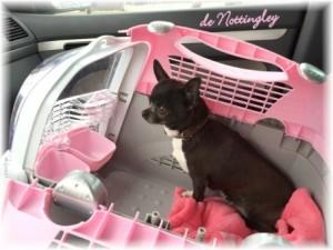 chihuahua bien installé en voiture dans une petite caisse de transport