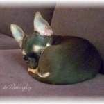 315211-chihuahua-succ-s