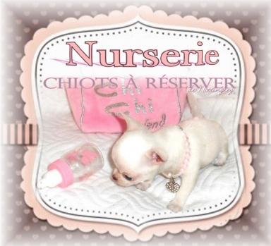 chiot chihuahua à vendre (élevage de qualité, très peu de naissances)