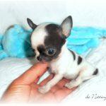 chihuahua-miniature