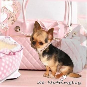 notre petite chihuahua devant son joli sac  de transport rose et son panier rose