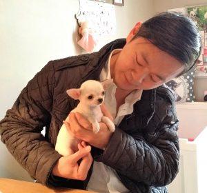 """chiot chihuahua femelle blanche """"Mei Mei de Nottingley"""" à Monsieur Wong"""