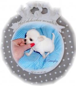 mâle chihuahua miniature