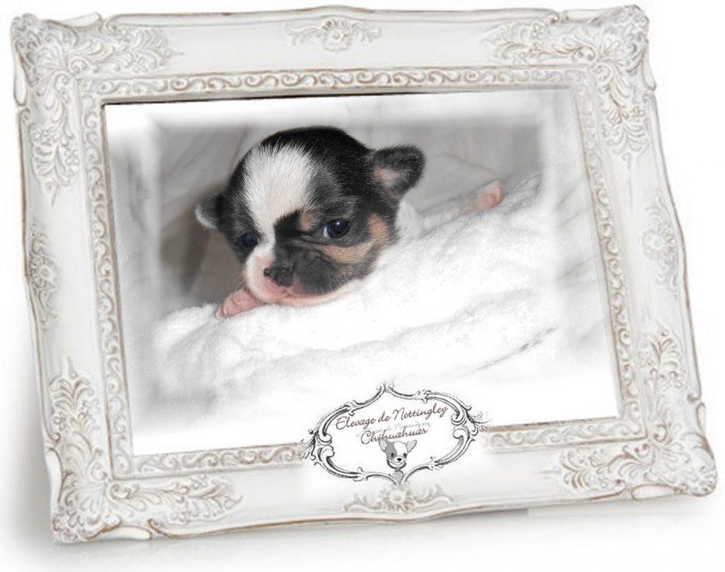chiot chihuahua chihuahua vendre vente de chiots chihuahua de nottingley. Black Bedroom Furniture Sets. Home Design Ideas