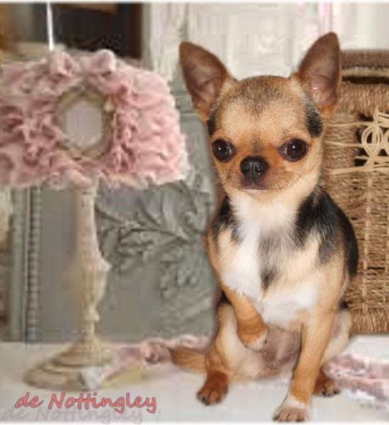 Cette petite chihuahua est très représentative de notre production, une petite tête bien typée et une parfaite construction