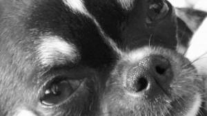 le mini chihuahua au regard doux