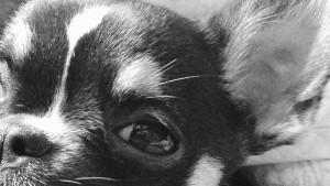 le mini chihuahua à un petit air docile