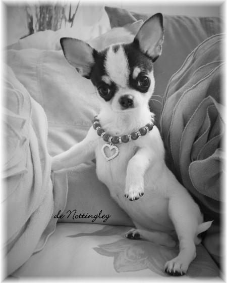 un petit chihuahua pour les joies et les peines