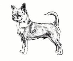 descriptif de la construction parfaite du chien de race chihuahua