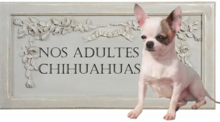 165134-adultes-chihuahuas