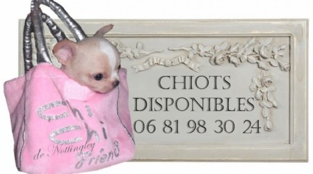165158-chiot-chihuahua-disponible