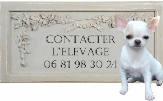 165222-levage-chihuahuas-de-nottingley