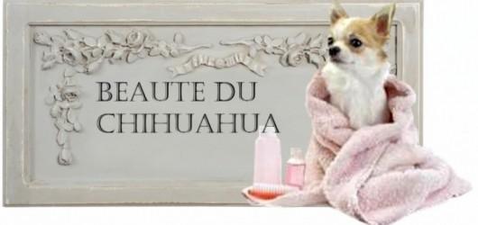 165317-toilettage-du-chihuahua