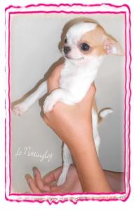 chihuahua de petit gabarit avec une jolie couleur blanche panachée de fauve