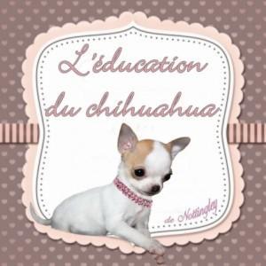 Conseils sur l'éducation de son chihuahua, rendre propre son chiot chihuahua, lui apprendre la marche en laisse, l'ordre couché, assis. Après vingt années d'élevage je vous transmets tout mon savoir sur l'éducation du chiot chihuahua.