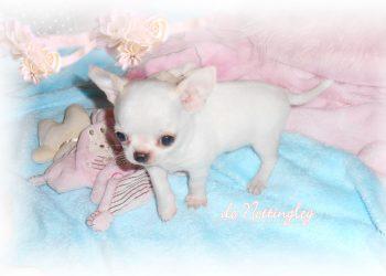 chiot chihuahua de petite taille et de petit poids