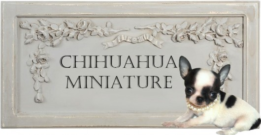 mini-chihuahua-miniature