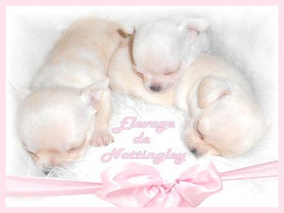 Trois nouveaux nés. Trois petites bouilles mini chihuahua