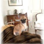 beau petit chihuahua de l'élevage proche de paris