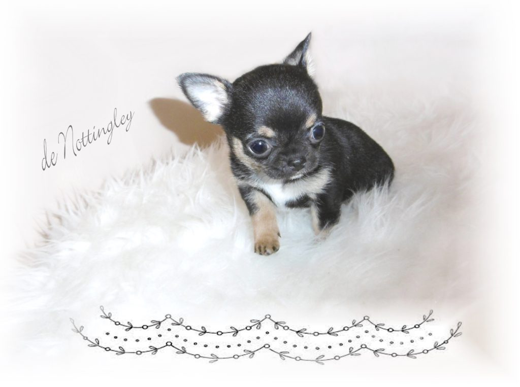Chiot Chihuahua Miniature élevage De Chihuahua Mini De