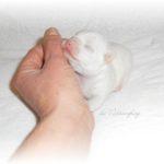 petit chihuahua de l'élevage de nottingley proche de paris