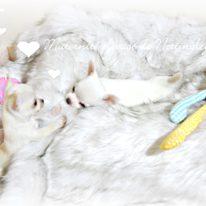 maternité-élevage-chihuahua